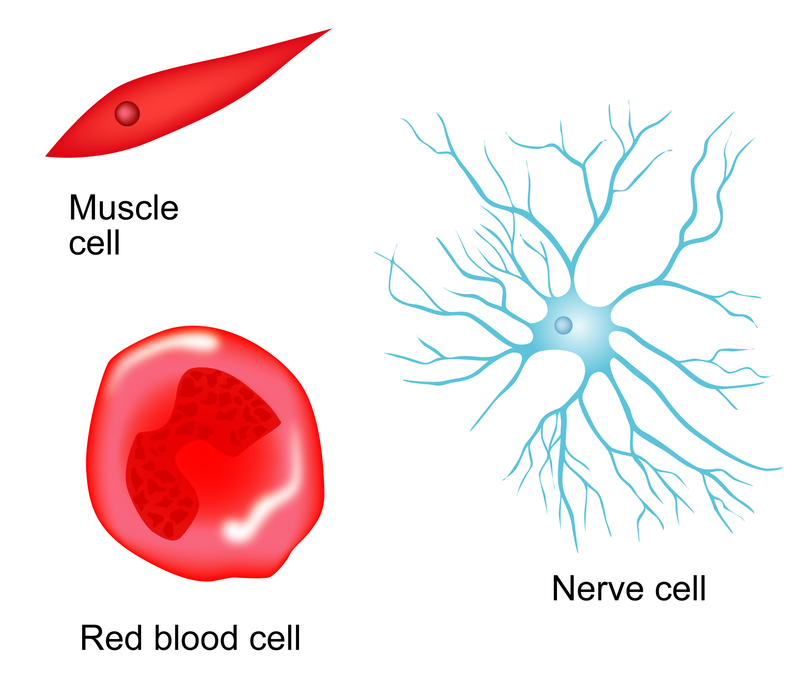 mature red blood cells are also called Why don't mature red blood cells have nuclei or mitochondria, and how do these   red blood cells are also quite flexible, which helps them squeeze through tight   dangerous disease called sickle cell anemia where some of the red blood.