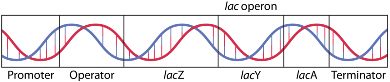 The parts of the lac operon: promoter, operator, lacZ, lacY, lacA, terminator