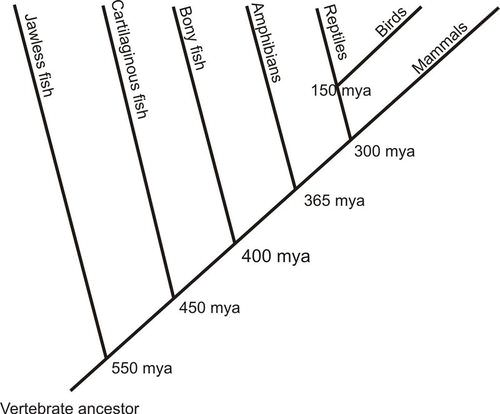 Phylogenetic tree of vertebrate evolution