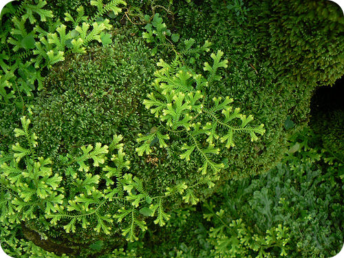 Clubmosses can resemble mosses; however, clubmosses have vascular tissue, while mosses do not