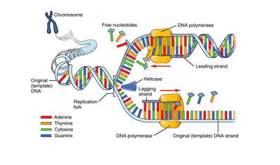 DNA Structure and Replication Quiz - MS LS