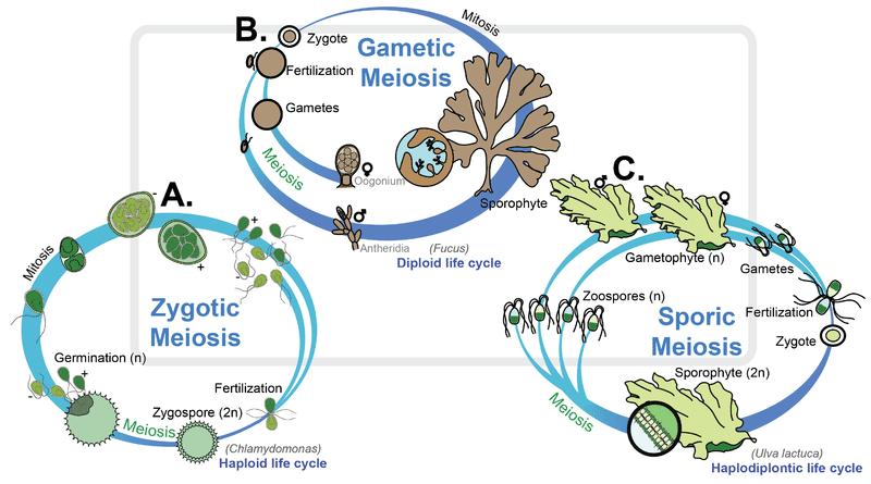 reproduction of algae