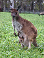 Kangaroo with offspring