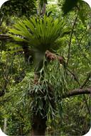 Elkhorn and Staghorn ferns