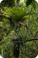 Elkhorn and Staghorn ferns