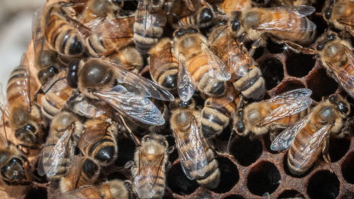 Honeybees in a colony