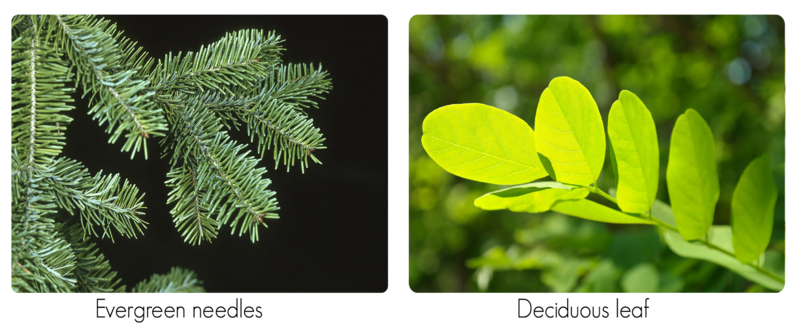 Evergreen needles compared to deciduous leaves