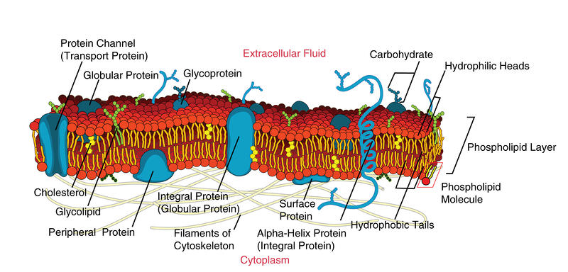 Types of proteins contained in the plasma membrane