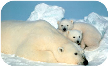 Polar bears have insulation in the form of fur and fat in order to stay warm in their Arctic ecosystem