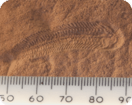 A fossil of an Ediacara organism
