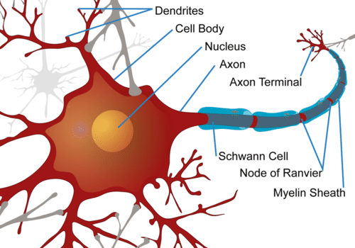 Neuron read biology ck 12 foundation illustration of a neuron ccuart Choice Image