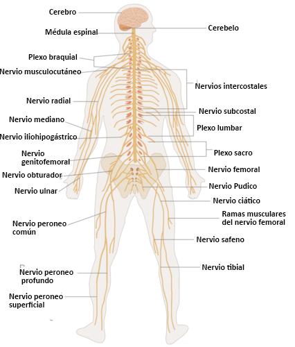 Células Nerviosas Ck 12 Foundation