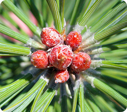 The end of a pine tree branch bears the male cones that produce the pollen