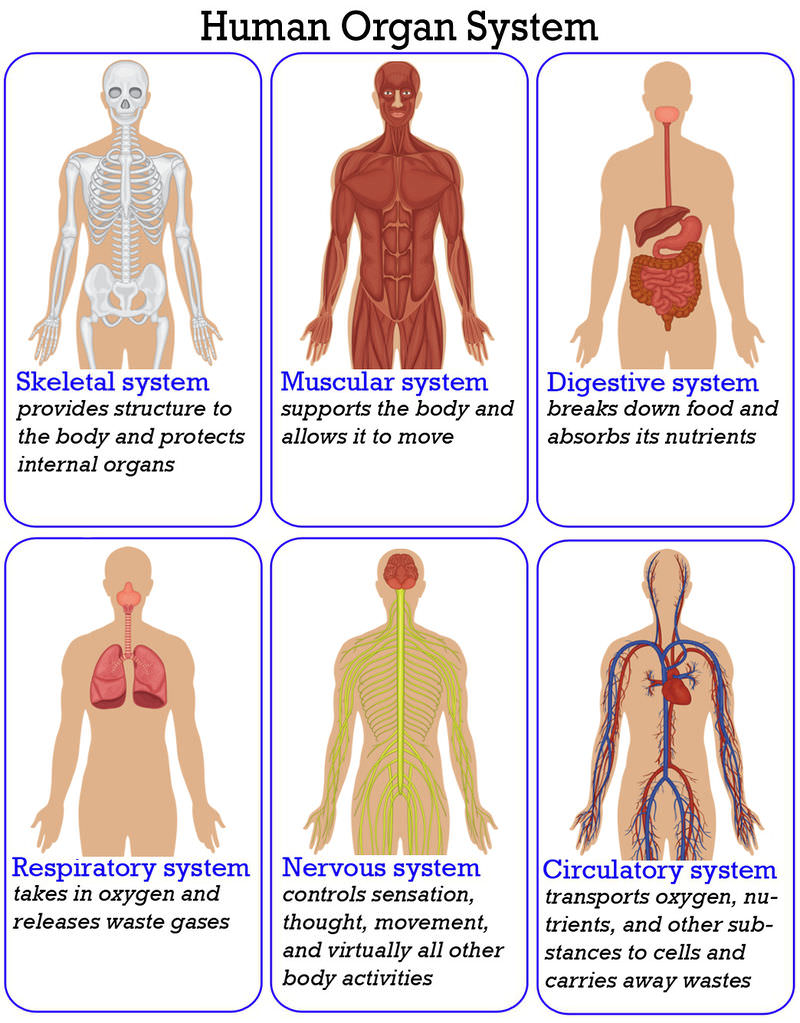 Worksheets Organ Systems Worksheet organization of the human body read biology ck 12 foundation an overview organ systems that make up body