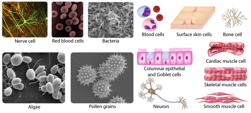 Pictures of various cell types illustrating cell diversity