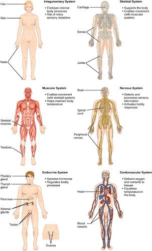 Human Organs And Organ Systems Ck 12 Foundation