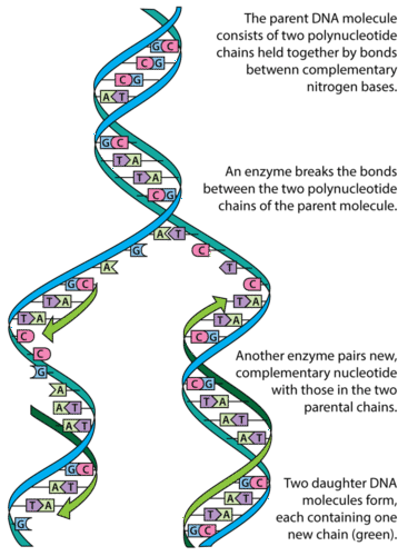 DNA Structure and Replication ( Read ) | Biology | CK-12 ...