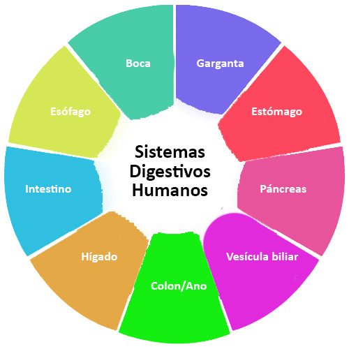Órganos del Sistema Digestivo | CK-12 Foundation