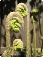 The first leaves of most ferns appear curled up into fiddleheads