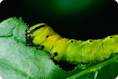 Caterpillar feeding on a host plant