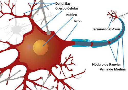 Células Nerviosas E Impulsos Nerviosos Ck 12 Foundation