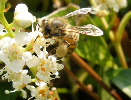 Bees are important pollinators of flowering plants