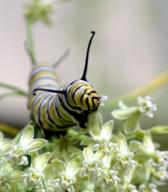 Caterpillar feeding on a host plant