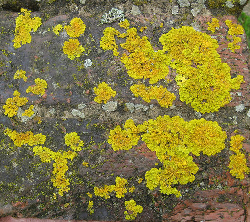 Lichen are often the first step in primary succession