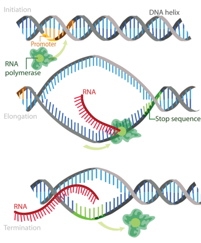 Steps of transcription: initiation, elongation, termination
