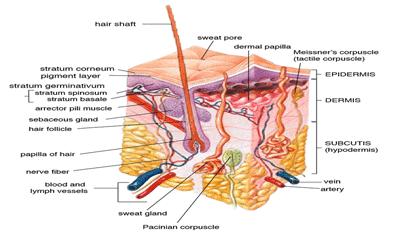 The Human Skin
