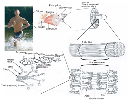 Muscular System Contraction Advanced Ck 12 Foundation