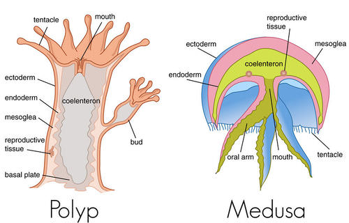 Both Polyp And Medusa Forms Consist Of A Digestive Sac The Coelenteron Surrounded By Two Layers Tissue Endoderm Ectoderm
