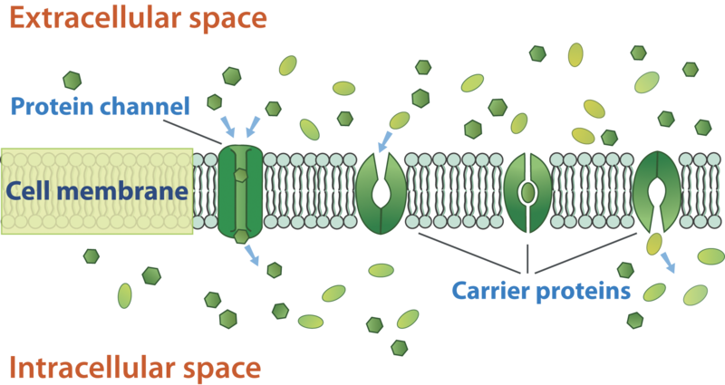 the process of moving across the membrane through the mechanisms of diffusion osmosis and facilitate Facilitated diffusion facilitated diffusion is a modification of osmosis involving a proteinaceous channel through which an extracellular solute can enter a cell without an energy requirement.