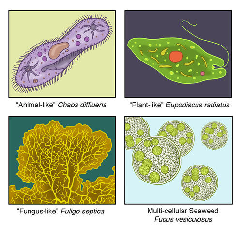 protist characteristics ( read ) | biology | ck-12 foundation