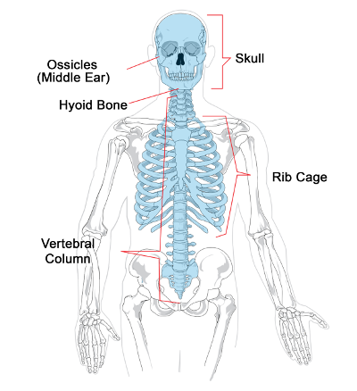 Divisions Of The Skeletal System Ck 12 Foundation