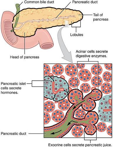 Pancreas   CK-12 Foundation