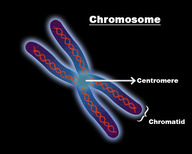 Chromosomes and Mitosis