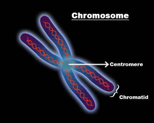 Diagram of a chromosome