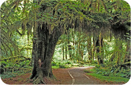 Hoh rainforest in Olympic National Park, Washington