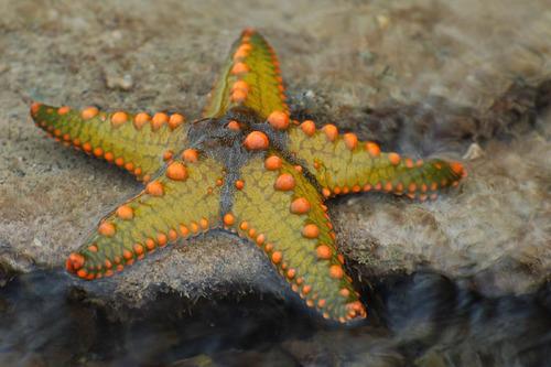 A sea star can reproduce asexually or sexually