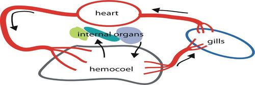 Mollusk structure and function read biology ck 12 foundation a schematic of an open circulatory system showing blood flow from the gills through blood vessels in red and the heart into the hemocoel ccuart