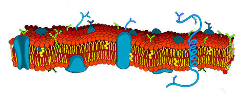 Drawing of a plasma membrane