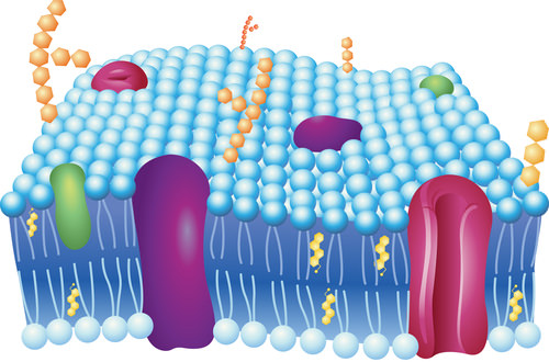 Cell Membrane - Phospholipid Bilayers