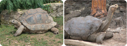 Giant tortoises on the Galapagos Islands