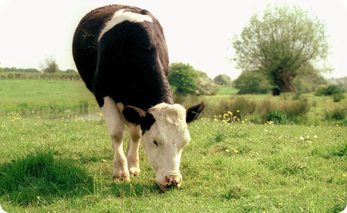 Cows are able to digest grass with the help of the bacteria methanogens in their gut