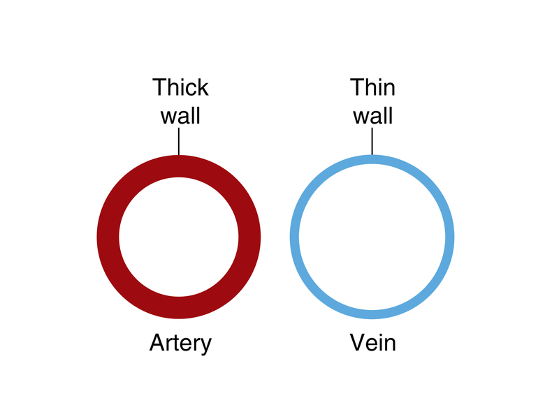 Veins And Venules Ck 12 Foundation