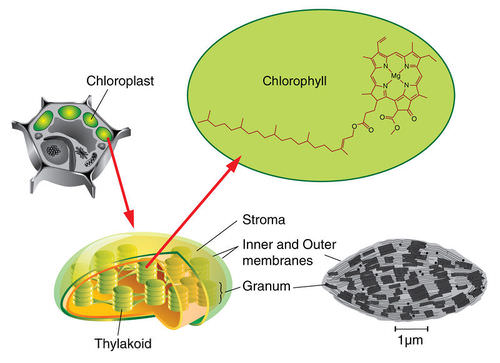The interior of a chloroplast, showing chlorophyll