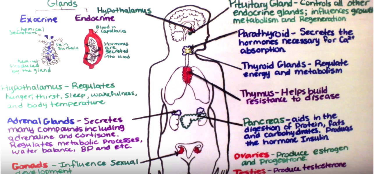 Endocrine Glands | CK-12 Foundation
