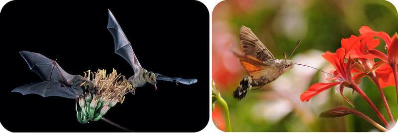 Hummingbird and flowering plant symbiotic relationship