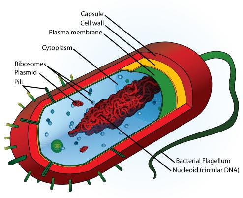 Bacteria Characteristics ( Read ) | Biology | CK-12 Foundation